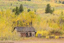 Derelict Cabin, Aspen & Cottonwood