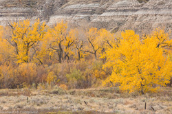 Cottonwoods, Autumn, Badlands