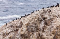 Cormorants, Bird Island