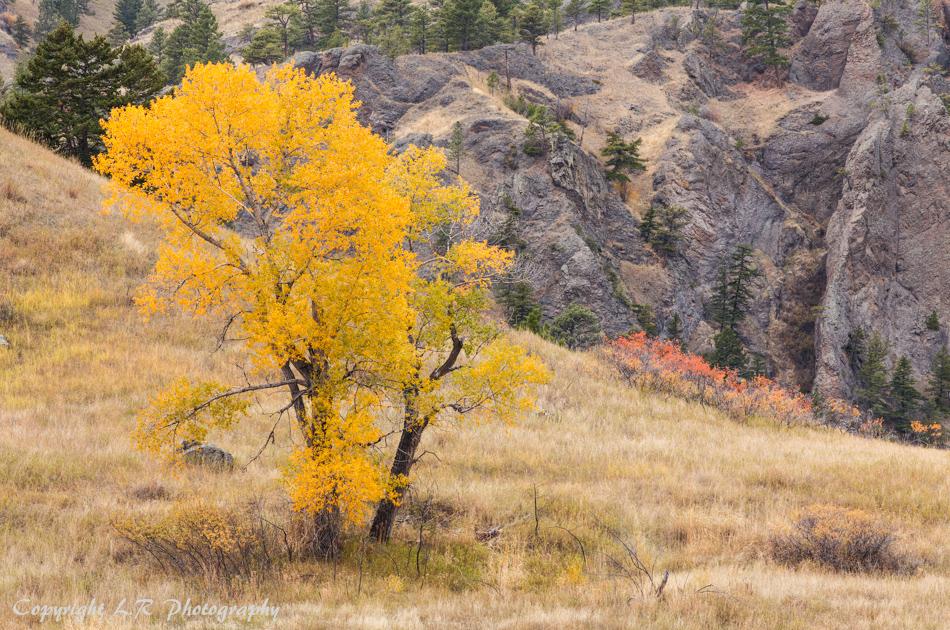 Cottonwood, Autumn