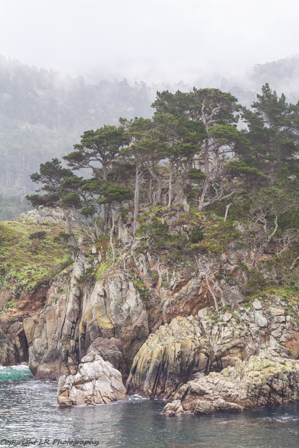 Monterey Cypress, Mist