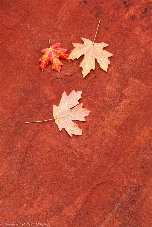 Maple Leaves, Raindrops