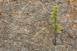 Spruce, Cliff Face
