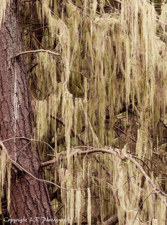 Lace Lichen & Pine Trunk