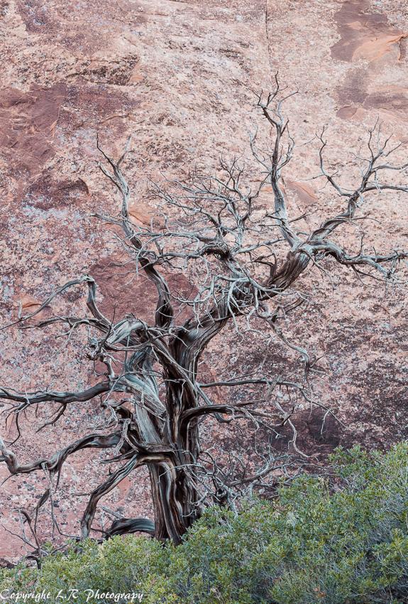 Skeletal Juniper, Sand Oak