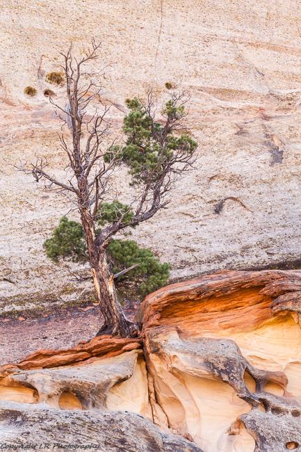 Pinyon Pine, Eroded Cliff