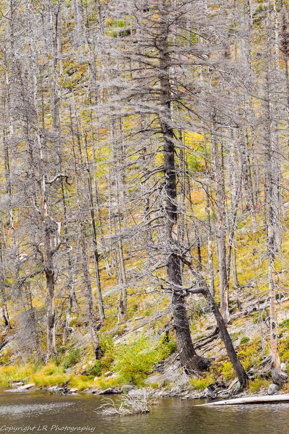 Burned Conifers, Lost Lake
