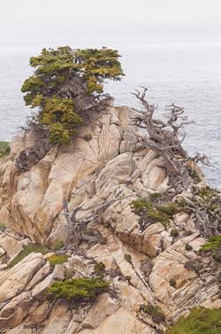 Monterey Cypress, Fog