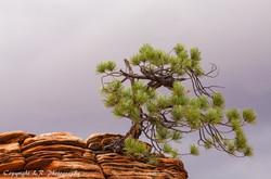 Stunted Pine, Clearing Rain
