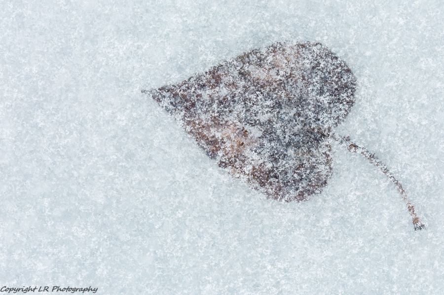Cottonwood Leaf, Frozen Creek