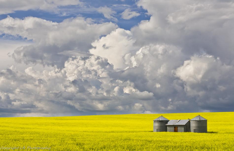 Flowering Mustard, Gathering Storm