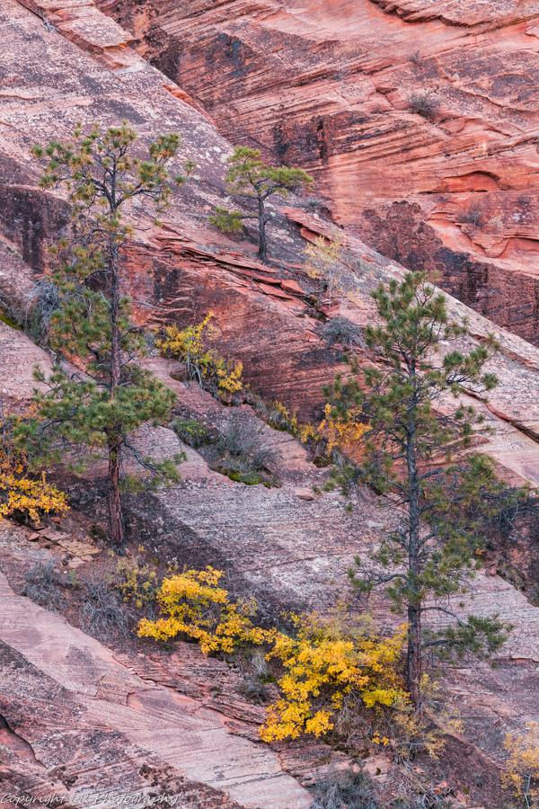 Three Pines, Scrub Oak