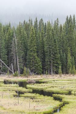 Wetlands & Spruce