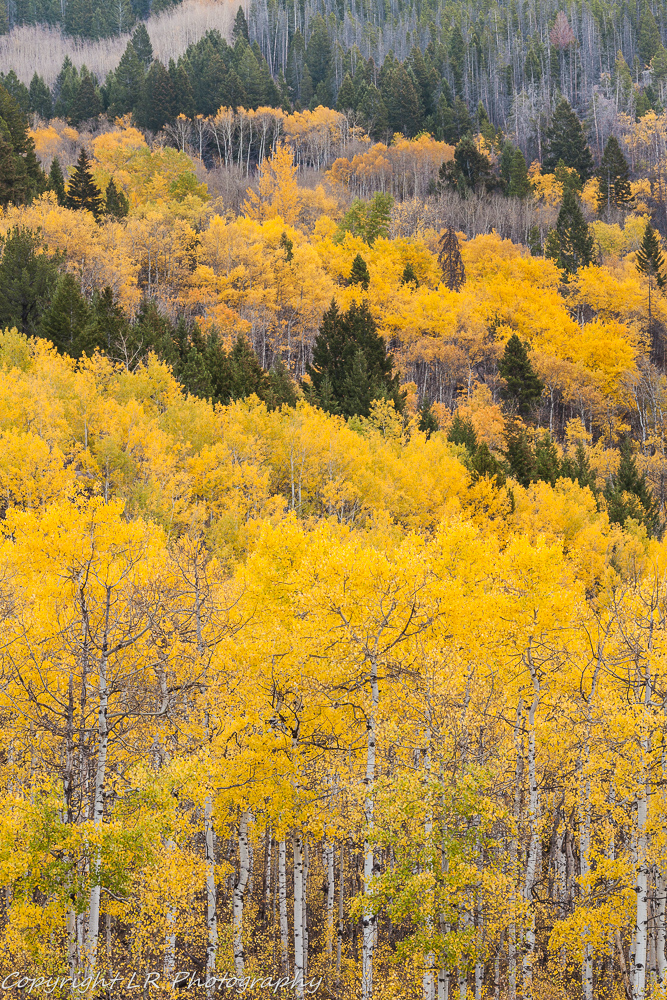 Aspens & Conifer, Autumn