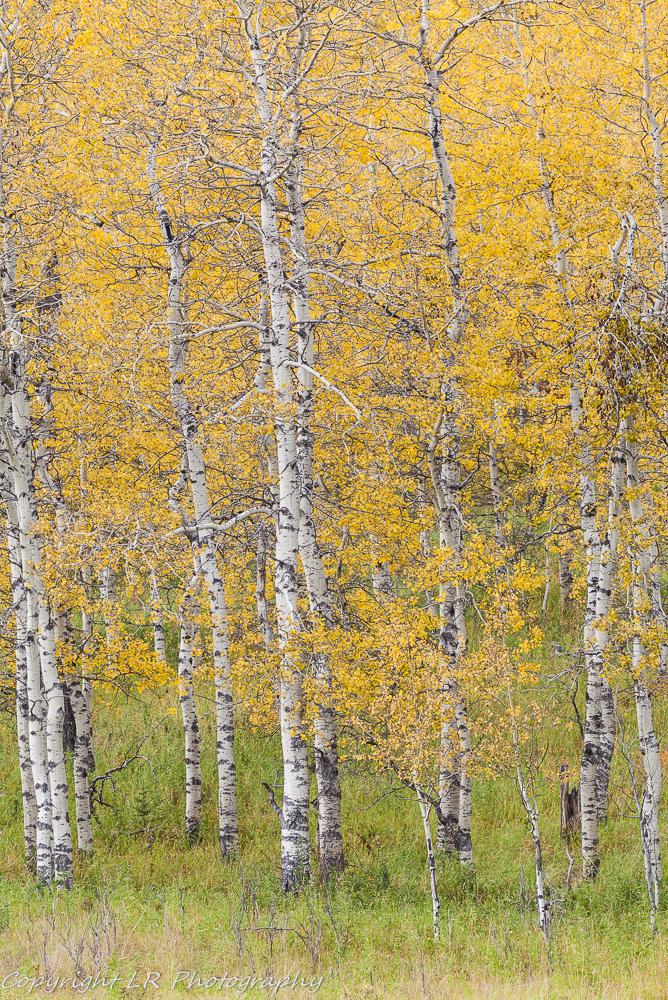 Aspen Spinney, Autumn