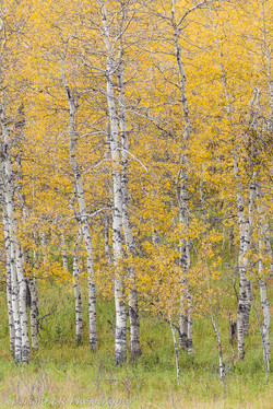 Aspen Spinney, Autumn