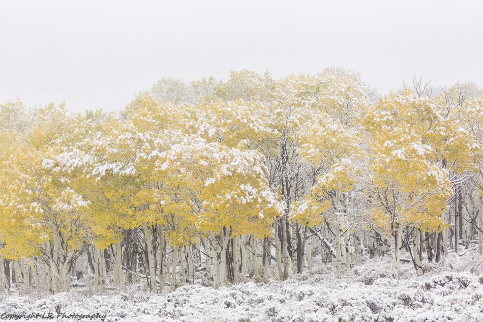 Aspens, Autumn Snow