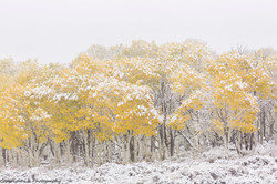 Aspens, Autumn Snow