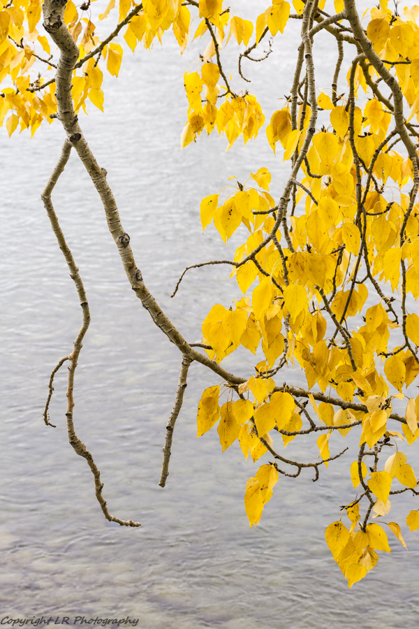 Cottonwood Branches & Leaves, Creek