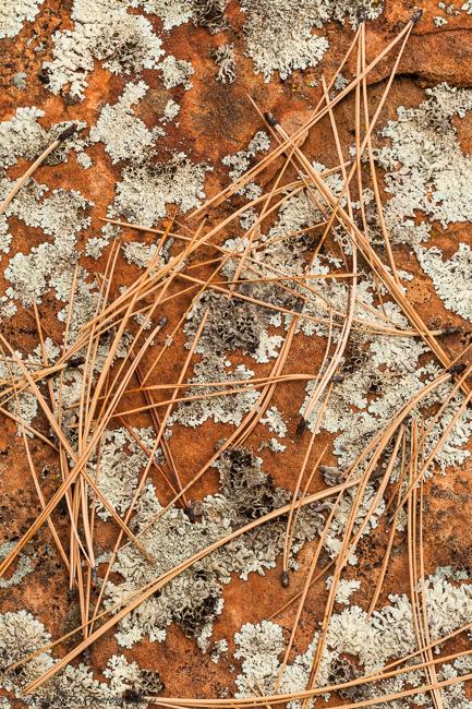 Pine Needles, Lichens