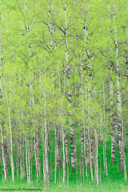 Aspens, Early Spring