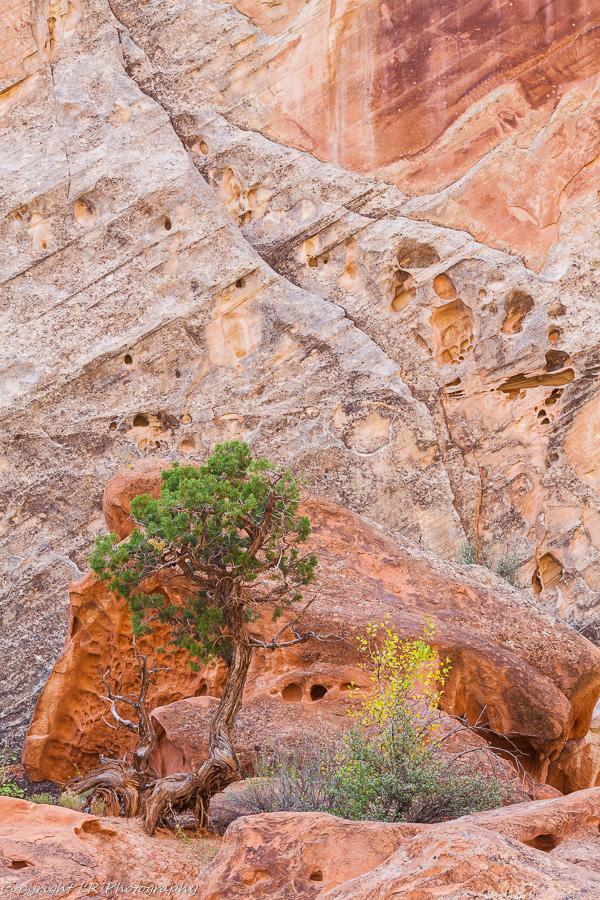 Juniper, Sandstone Cliff
