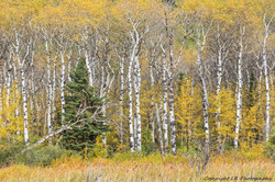 Aspens & Conifer, Autumn