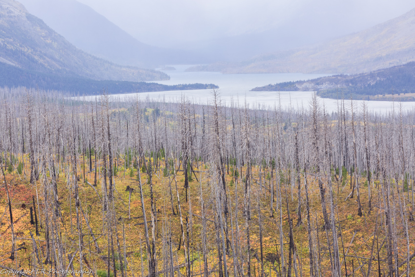 St Mary Lake, Burned Conifers.