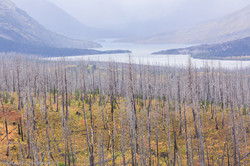St Mary Lake, Burned Conifers.