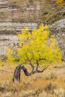 Bowed Cottonwood, Autumn