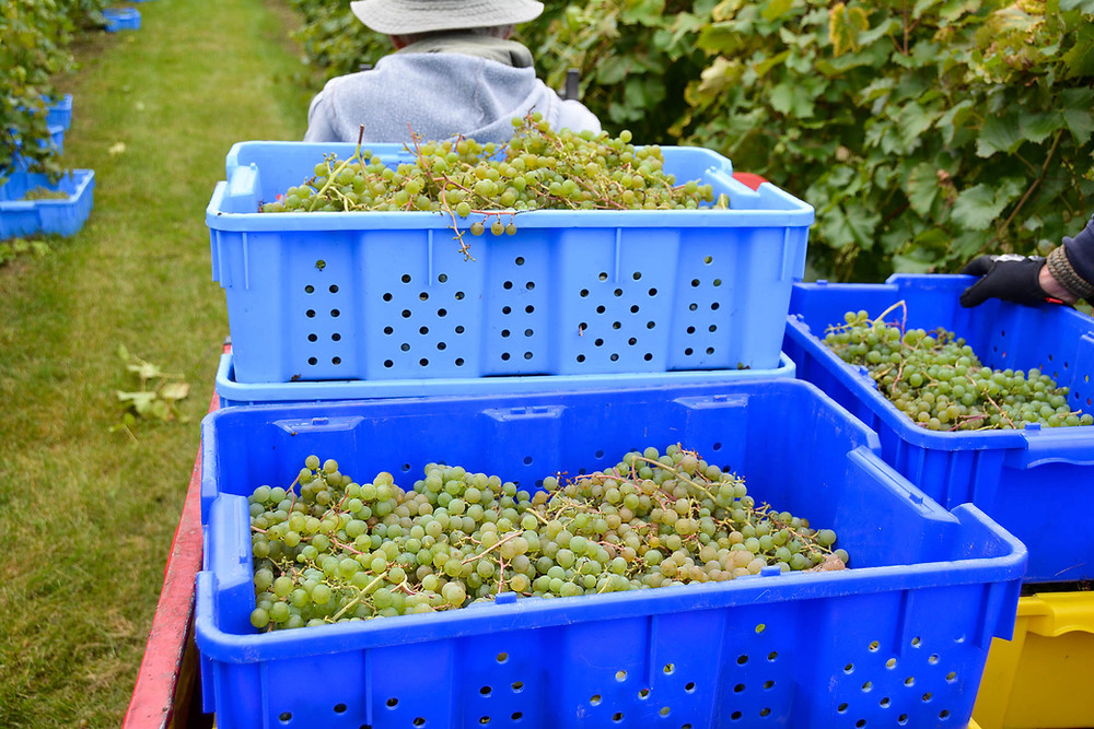 Authentic U.P. grown grapes at Anthony Vineyards and Northern Sun Winery in Bark River, MI