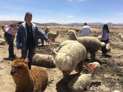 駱馬羊駝101  All About Llamas And Alpacas