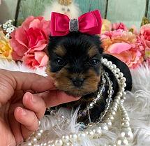 AKC Yorkshire Terrier female