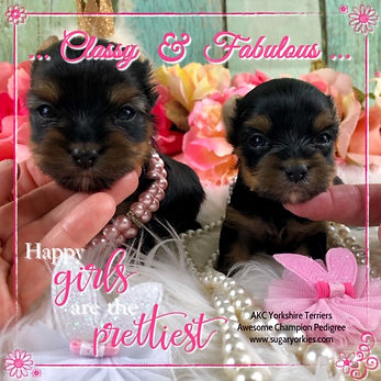 AKC Yorkshire Terrier females