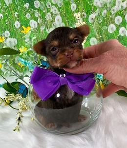 AKC Chocolate Tiny Yorkie Male