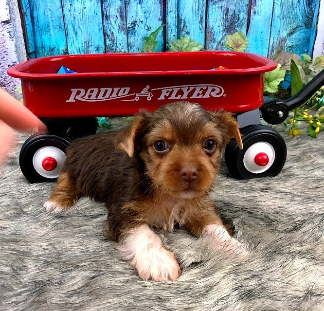 Home Yorkies For Sale Tennessee Sugar Yorkies Akc Chocolate
