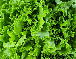 Fresh lettuce leaves, close up..jpg