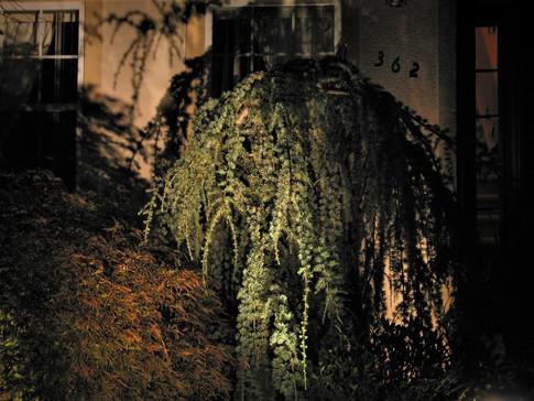 Evergreen Tree Lighting