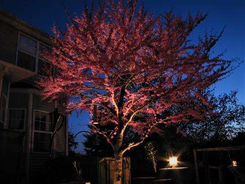 Redbud In Bloom Up Lighting