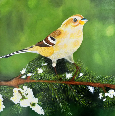 The domestic canary - a small songbird