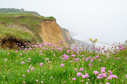 Pink windflowers by a sandstone cliff ov