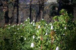 White Proteas - Molenvliet