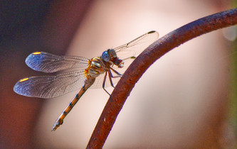 The Dragon Fly.jpg