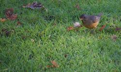 Robin Wet Winter Grass - Molenvliet