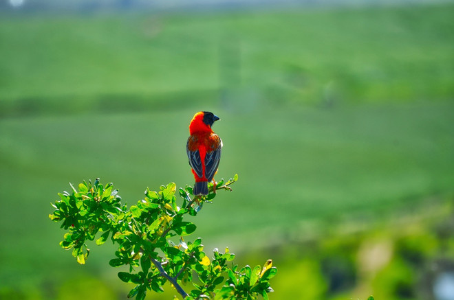 cardinals on green - 49.jpg