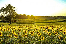 sunflower field.JPG