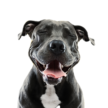 Funny%20Pitbull%20Portrait_edited.png
