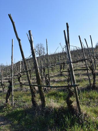 La nascita della viticoltura moderna in Europa - Nota di Osvaldo Failla