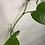 Thumbnail: קליפס לבן לצמחים
