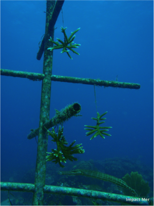 Transplantation corallienne
